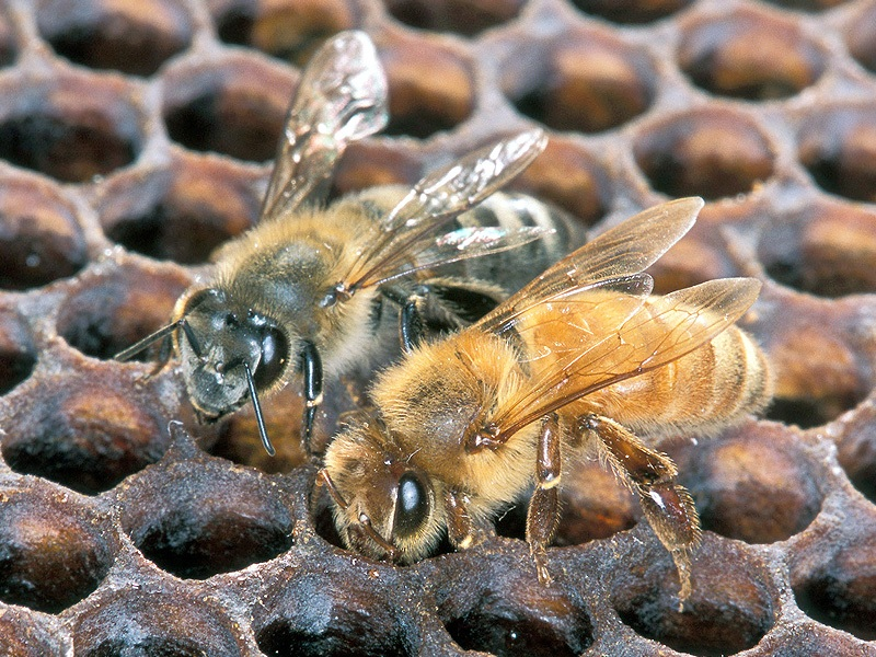 Africanized Honey Bee v.s. European Honey Bee