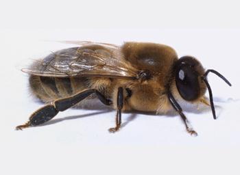 Drone Honey Bee