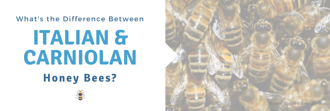 Honey Bee Specie Comparison: Italian v.s. Carniolan Honey Bees