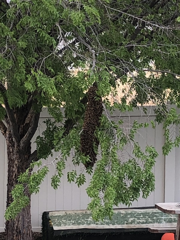 May 2021 Swarm Capture - Bear Country Bees