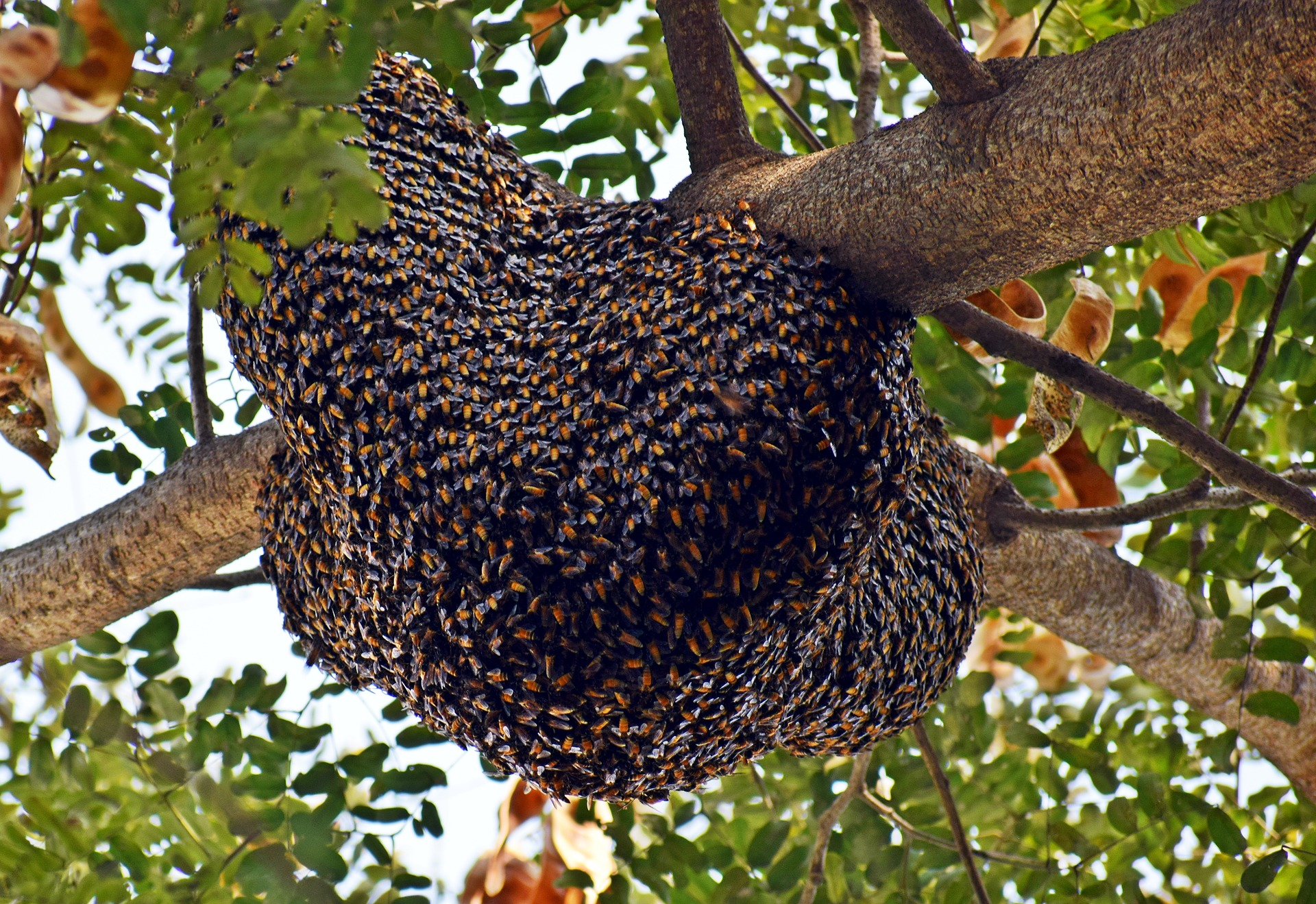 May 2021 - Adopt-A-Hive Update - Honey Bee Swarms